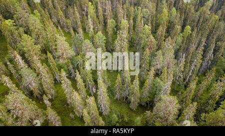 Drone shot, boreal, arctic conifers, forest, moss, wetland, salla, Lappi, Finland, Finland - Stock Photo