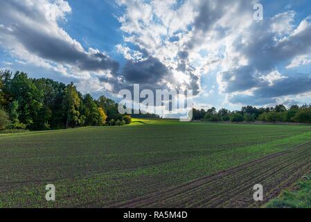 Field with germinating Common Wheat (Triticum aestivum), cloudy sky, Franconia, Bavaria, Germany - Stock Photo
