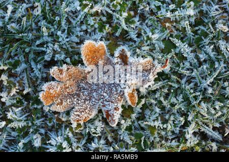 Oak leaf (Quercus robur) covered with ice crystals and hoarfrost in a meadow, Schleswig-Holstein, Germany - Stock Photo