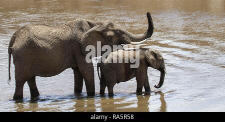 African elephants (Loxodonta africana), cow with trunk raised and calf standing in Mara river, Masai Mara National Reservae - Stock Photo