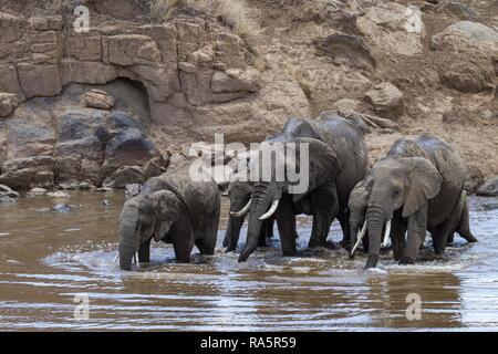 Herd of elephants (Loxodonta africana) drinking in Mara river, Masai Mara National Reservae, Kenya - Stock Photo