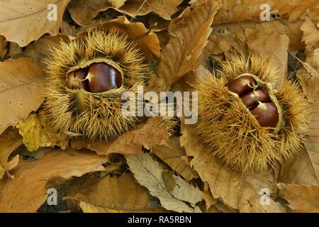 Two chestnuts (Castanea sativa), with open cupula on dried chestnut leaves, Ticino, Switzerland - Stock Photo
