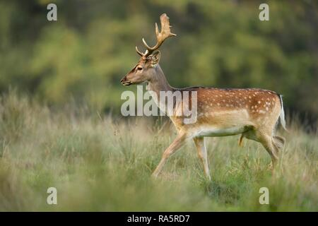 Fallow deer (Dama dama), young deer walking in meadow, Jaegersborg Deer Park, Denmark