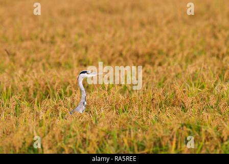 Grey Heron (Ardea cinerea), hunting at harvest season in a rice field (Oryza sativa), environs of the Ebro Delta Nature Reserve - Stock Photo