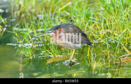 Heron (Butorides virescens) Green backed heron, poised for fishing in fresh water creek in the small fishing village of Castara, Tobago, West Indies - Stock Photo