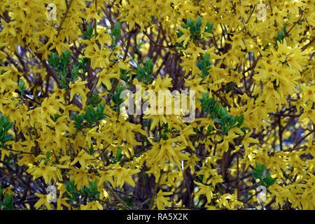 Forsythia × intermedia (Border Forsythia). Yellow flowers background. Flowers texture. - Stock Photo