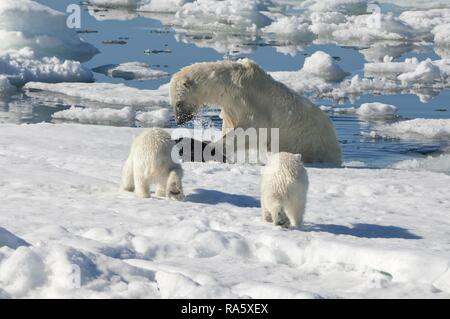 Female Polar bear (Ursus maritimus) hunting a Ringed seal (Pusa hispida or phoca hispida) and accompanied by two cubs - Stock Photo