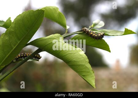 Two Caterpillars of Dainty Swallowtail Butterfly on citrus tree. - Stock Photo