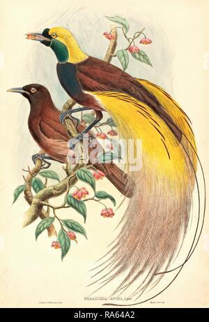 John Gould and W. Hart, British (1804-1881), Bird of Paradise (Paradisea apoda), published 1875-1888, hand-colored reimagined - Stock Photo
