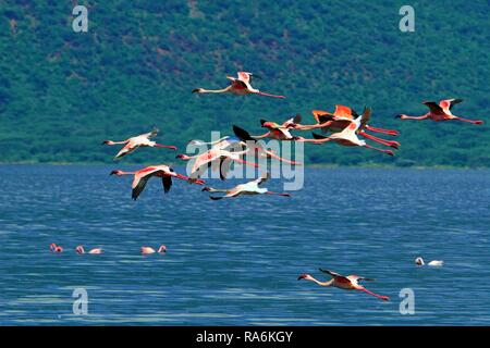 A group of Lesser flamingos (Phoenicopterus minor) in flight, Bogoriase, Great Rift Valley, District Baringo, Kenya - Stock Photo