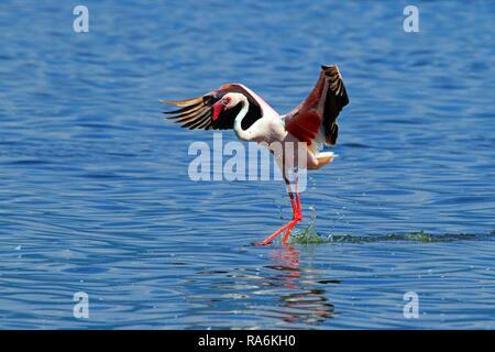 Lesser flamingo (Phoenicopterus minor) landing in water, Lake Bogoria, Great Rift Valley, District Baringo, Kenya - Stock Photo
