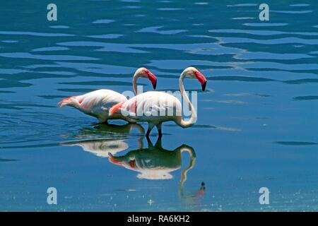 Two Lesser flamingos (Phoenicopterus minor) standing in Lake Bogoria, Great Rift Valley, District Baringo, Kenya - Stock Photo