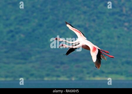 Two Lesser flamingos (Phoenicopterus minor) flying over the Bogoriase, Great Rift Valley, District Baringo, Kenya - Stock Photo