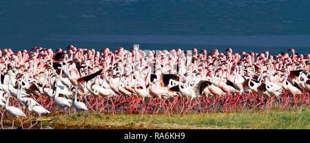 A Large Colony Lesser flamingos (Phoenicopterus minor), Lake Bogoria, Great Rift Valley, District Baringo, Kenya - Stock Photo