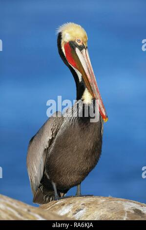 Brown Pelican (Pelecanus occidentalis), standing on rocks, La Jolla, California, USA - Stock Photo