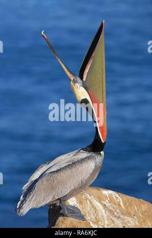 Brown Pelican (Pelecanus occidentalis), standing on rock with open beak, La Jolla, California, USA - Stock Photo