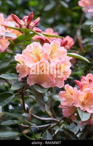 Rhododendron 'Olga' flowers in Spring. - Stock Photo