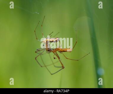 Stretcher spiders (Tetragnatha extensa) in pairing, Bavaria, Germany - Stock Photo