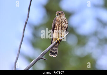 A female Merlin (Falco columbarius), perched on a dead tree branch in rural Alberta Canada. - Stock Photo