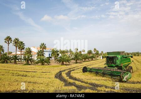 Rice (Oryza sativa) harvest at the Tramontano farm house in September, environs of the Ebro Delta Nature Reserve - Stock Photo