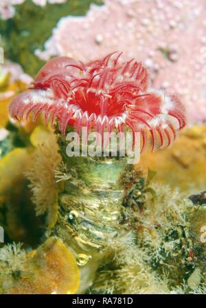 Tubular worm (Serpula columbiana), Japan Sea, Primorsky Krai, Russian Federation, Far East - Stock Photo