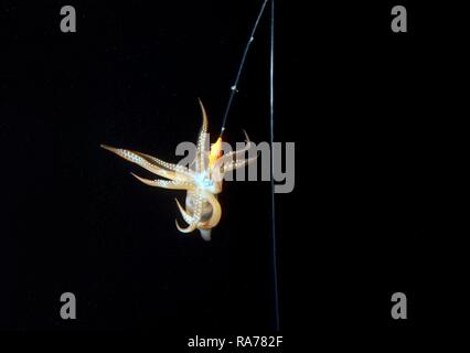 Night fishing on a squid, Japanese common squid or Japanese flying squid (Todarodes pacificus), Japan Sea, Primorsky Krai - Stock Photo