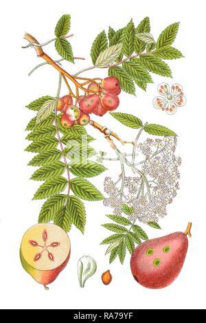 True service tree (Sorbus domestica), a medicinal plant, historical chromolithography, around 1796 - Stock Photo