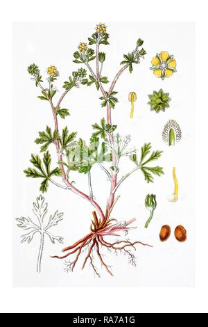 Hoary cinquefoil (Potentilla argentea), medicinal plant, historical chromolithography, around 1796 - Stock Photo