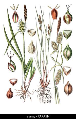 Sedge species (Carex oederi), left, and Long-bracted Sedge (Carex extensa), right, medicinal plant, historical chromolithography - Stock Photo
