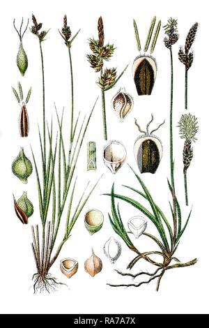 Left, Pill Sedge (Carex pilulifera), right, Rare Spring Sedge (Carex ericetorum), medicinal plants, historical chromolithography - Stock Photo