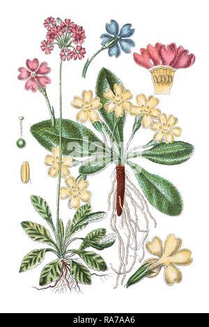 Bird's-eye primrose (Primula farinosa) on the left, Common primrose (Primula acaulis) on the right, medicinal plants - Stock Photo
