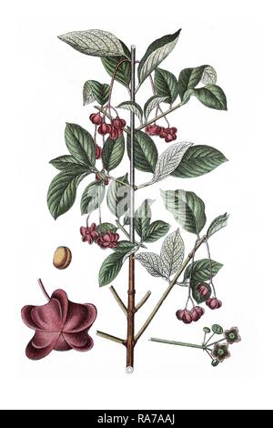 Large-leaved spindle (Euonymus latifolia), a medicinal plant, historic chromolithography, about 1796 - Stock Photo