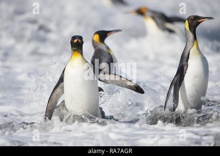 King Penguins in Gold Harbour, South Georgia - Stock Photo