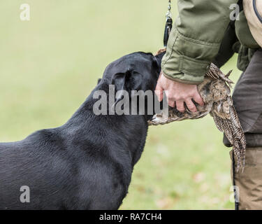 labrador retreiving dead shot pheasant to handler - Stock Photo