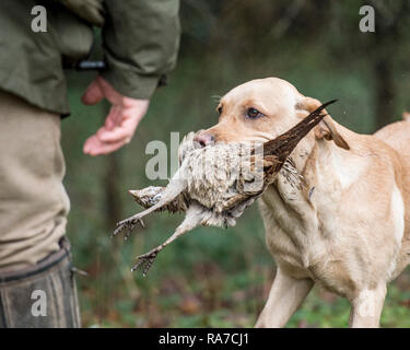 yellow labrador retriever carrying pheasant - Stock Photo