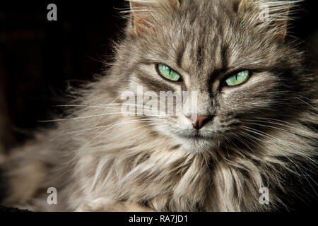 Beautiful Persian cat with long grey hair looks at you with his eyes of a magical deep green - Stock Photo