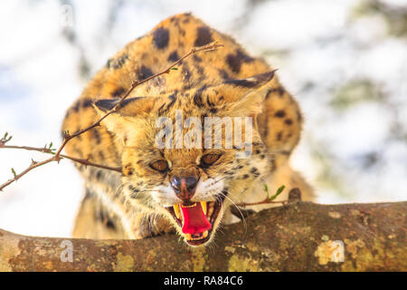 Serval angry on a tree in nature habitat. The scientific name is Leptailurus serval. The Serval is a spotted wild cat native to Africa. Blurred background. - Stock Photo