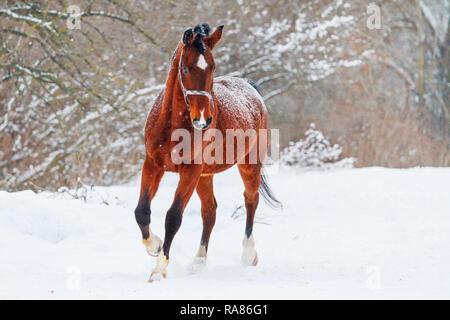 beautiful horse running on the white snow,beautiful winter photos - Stock Photo