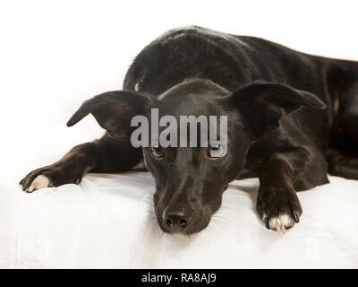 Spanish Podenco dog, portrait in studio on a white background - Stock Photo