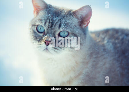 Cute Siamese cat walking outdoors in the deep snow in winter - Stock Photo