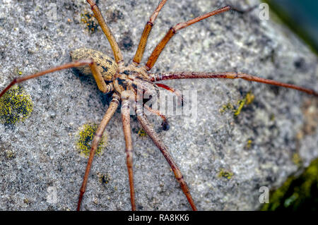 This is a male Giant House Spider Tegenaria gigantea now called Eratigena atrica. It is typical to see the male as the female remains hidden. - Stock Photo