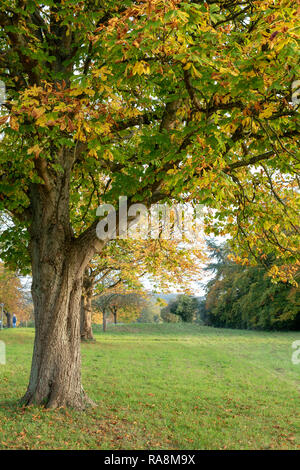 Aesculus hippocastanum. Horse chestnut trees in autumn in Wyck Rissington, Cotswolds, Gloucestershire, England - Stock Photo