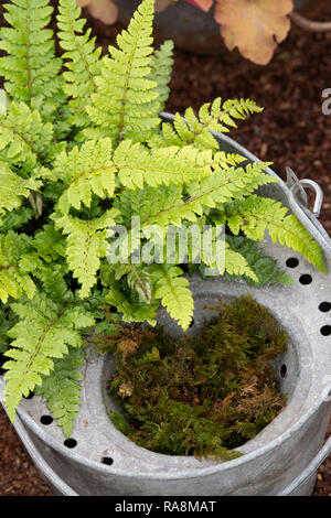 Polystichum polyblepharum. Japanese lace fern in a mop bucket - Stock Photo