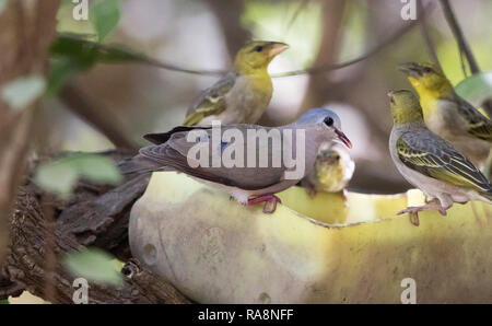 Blue-spotted Wood Dove (Turtur afer) - Stock Photo
