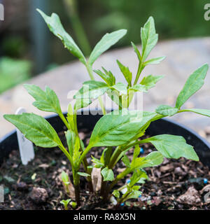 A macro shot of new growth of a dahlia take off tuber. - Stock Photo