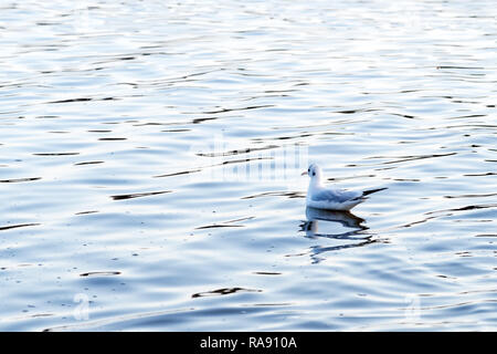 Black-Headed Gull (Chroicocephalus ridibundus) stand on the waves lake - Stock Photo
