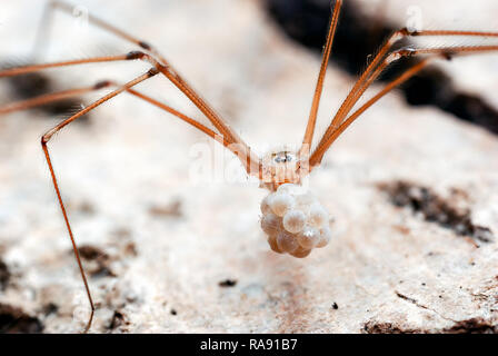 An image of the cellar spider (Pholcus phalangioides) carrying its eggs in her jaws too a safer spot after being disturbed from our outdoor shed. - Stock Photo