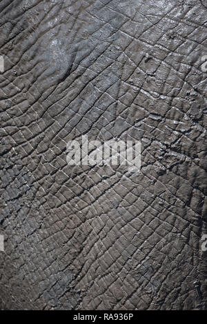 Close up on an African elephant hide Loxodonta africana immediately after a mud bath - Stock Photo