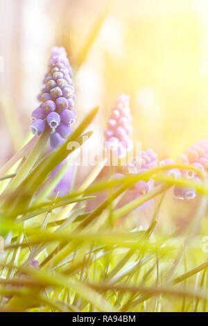 Blue muscari or grape hyacinth flowers in bright sunlight, spring background template with copy space - Stock Photo