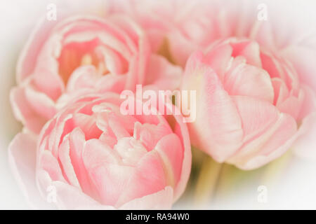 Tulip flowers in light shades of salmon pink against white, nostalgic and romantic background template, vintage filter effect - Stock Photo
